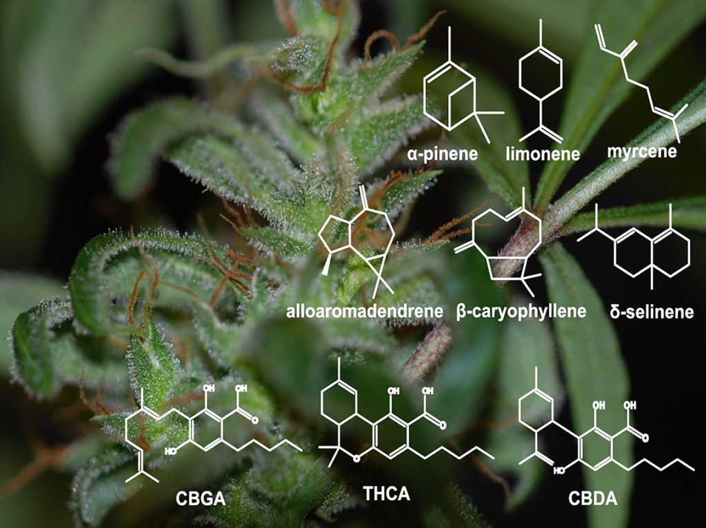 """""""Effetto entourage"""": come i terpeni e i cannabinoidi vanno a braccetto"""