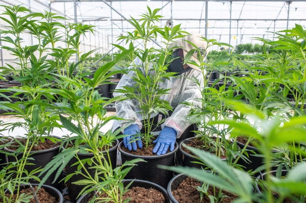 """L'OMS in favore della cannabis: """"Rimuovetela dalle sostanze pericolose"""""""