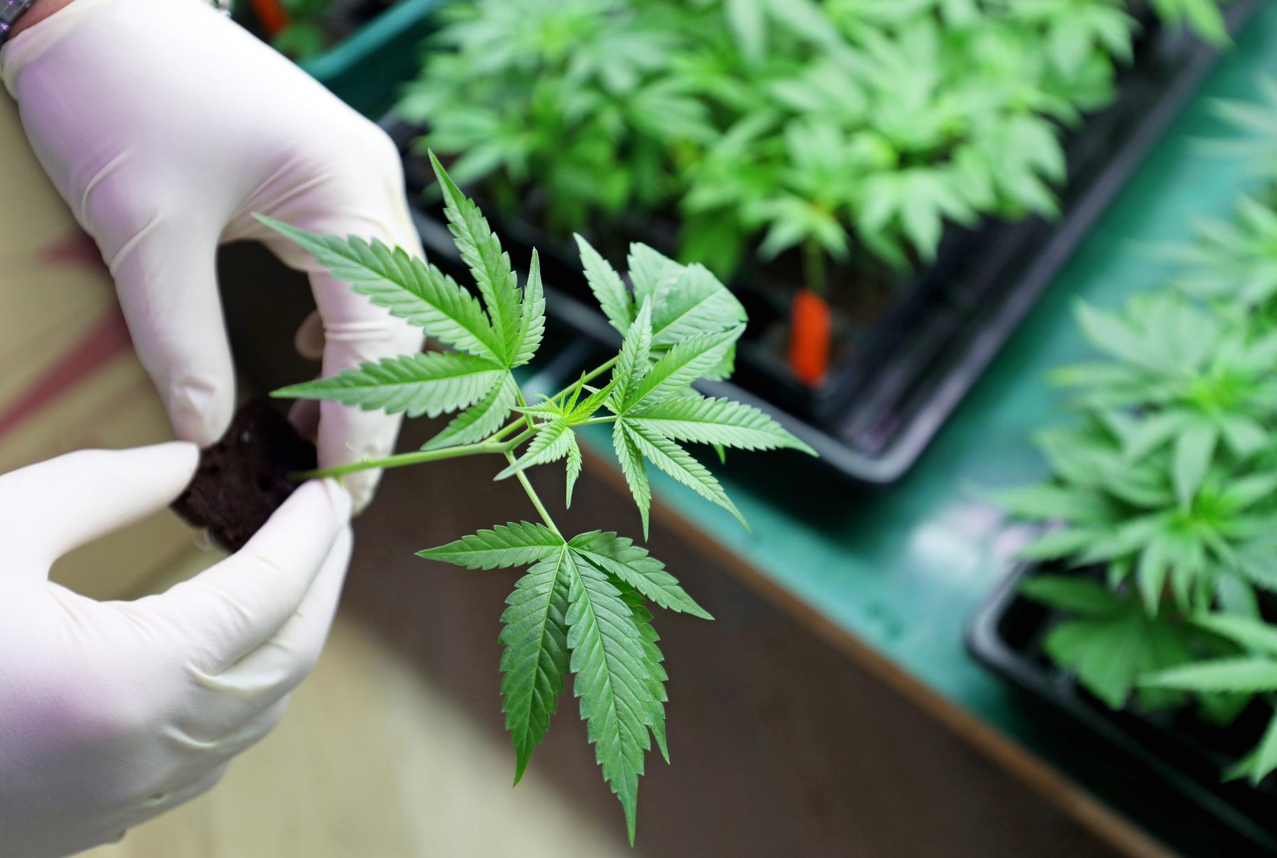 Cannabis terapeutica in Italia, le ultime novità dal Ministero della Salute