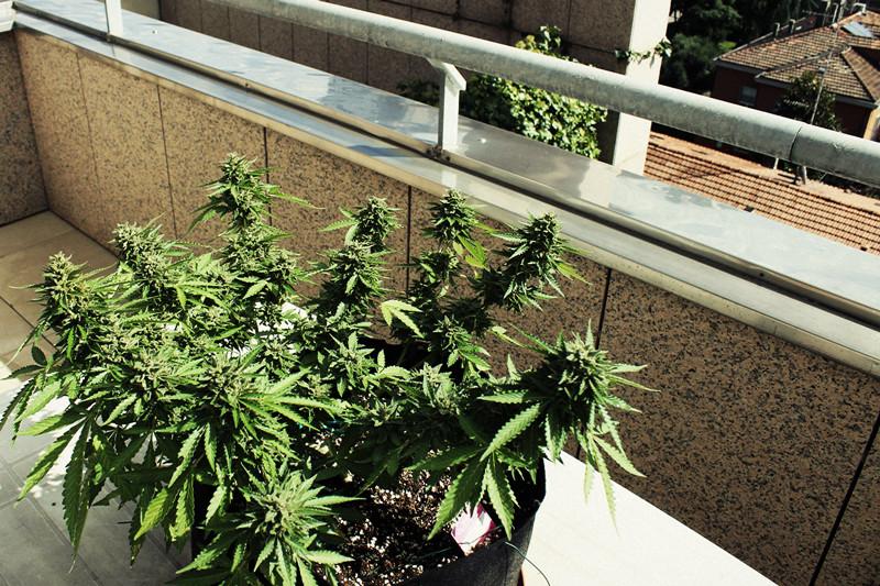 Cassazione: la coltivazione di cannabis per uso personale non è reato